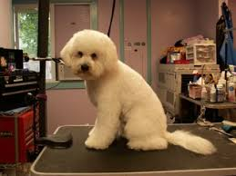 bichon frise puppy cut more before u0026 after groom pics