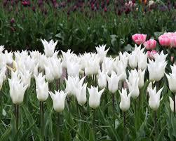 Elegance by Tulip White Elegance Bulbs Buy Online At Farmer Gracy Uk