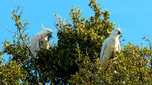 wild parrots at melbourne botanical gardens in 4k youtube