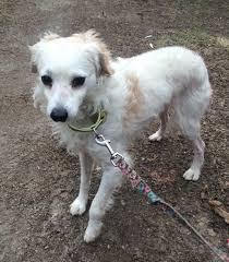 american eskimo dog jack russell mix oak ridge nj american eskimo dog meet iggy a dog for adoption