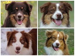 double r australian shepherds these are all red tri australian shepherds the red self bi tri