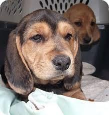 affenpinscher puppies for sale in ohio fergus adopted puppy marysville oh basset hound dachshund mix