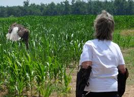 kentucky department of fish u0026 wildlife bald eagle tracking