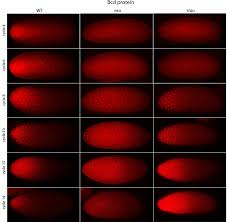 bicoid gradient formation and function in the drosophila pre