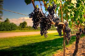 file wine grapes nearing harvest in ontario also example of