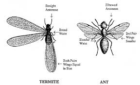 Ants In The Bathroom by How To Tell The Difference Between Flying Ants And Termites Ant