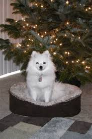 american eskimo dog rescue michigan toy american eskimo dogs and puppies for sale