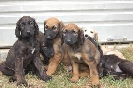 afghan hound adoption florida index of media 15