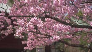 tourists walking beneath cherry blossom free stock video footage
