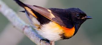 North Carolina birds images North carolina mountain birds american redstart jpg