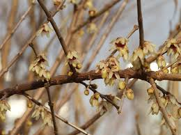 Fragrant Plants List Plant Of The Week Fragrant Wintersweet The High Line Blog