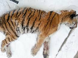 siberian tiger suffering dental problems now receiving treatment
