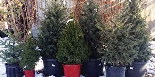 live christmas trees live christmas trees horsford gardens and nursery