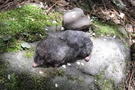 Moles Blind Asian Mole Shrew Wikipedia