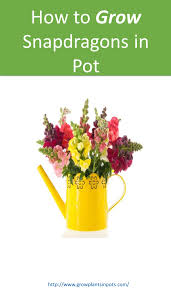 Flower Pot How To Grow Snapdragon Plants In Containers