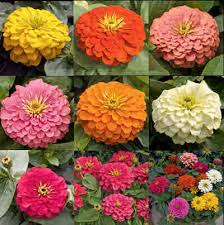 Long Blooming Annual Flowers - how are annuals and perennials different wonderopolis
