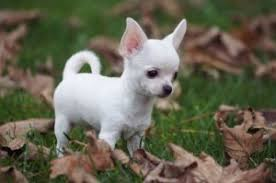 Comfortable Temperature For Newborn Care For Newborn Chihuahua Puppies Doglovely