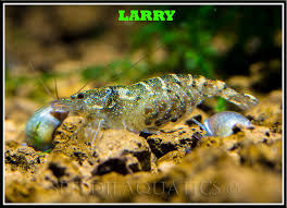 shrimp species common names picture heavy the planted