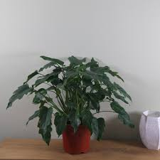 buy indoor plants by waitrose garden