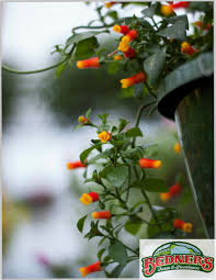 candy corn vine manettia a climbing vine for hanging baskets