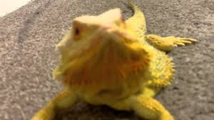 orange yellow bearded dragon