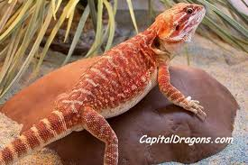 capital dragons extreme colour morph bearded dragons