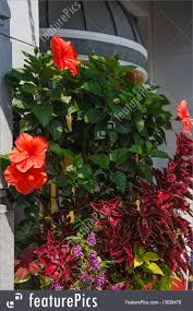 climbing hibiscus images reverse search