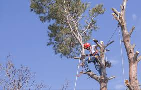 acotillo tree service in los angeles tree trimming removal and more