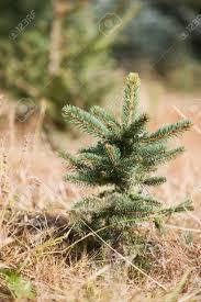 christmas tree saplings christmas decor ideas