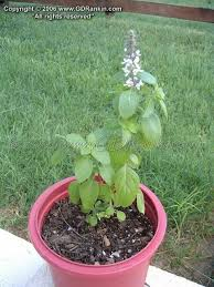 plantfiles pictures ornamental basil blue ocimum by