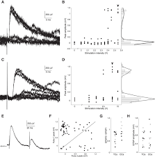 comparative strength and dendritic organization of thalamocortical