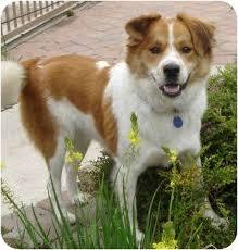 australian shepherd for sale california tucker adopted dog santa monica ca australian shepherd mix