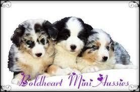 4 corners australian shepherd club miniature australian shepherd puppies az