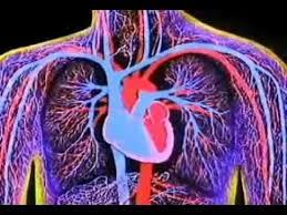 Heart Anatomy Youtube Blood Supply To The Heart Part 2 Anatomy Tutorial Youtube