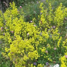 plante vivace soleil plantes vivaces galium verum gaillet vrai caille lait jaune