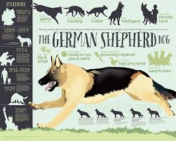 belgian sheepdog vs german shepherd the german shepherd dog german shepherd guide