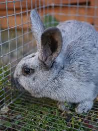 raising and breeding rabbits for meat u2013 backwoods mama