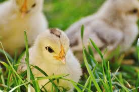 animali da cortile definizione foto gratis animale bambino uccello pulcini erba