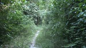 native rainforest plants brazilian rainforest plants dense jungle trail youtube