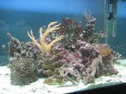Petsmart Christmas Aquarium Decorations by My Simple 60 Gallon Shallow Reef Tank