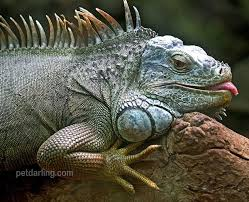 imágenes de iguanas verdes iguana verde hábitat que come fotos de iguanas