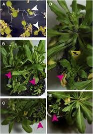 evidence for a role of arabidopsis cdt1 proteins in gametophyte