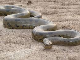 vidio film ular anaconda ular besar anaconda bisa berteman dengan seekor burung technology