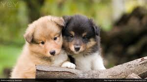 dog wallpapers boo the dog wallpaper 48 images