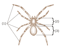 Male External Anatomy Spider Anatomy Wikipedia