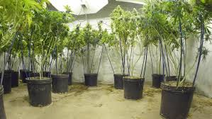 steadicam motion across marijuana plants with buds at indoor