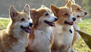 10 reasons to love corgis
