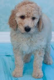 41 best poodles images on pinterest standard poodles poodle