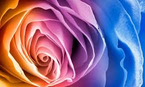 flowers flower colourful rose rainbow macro vibrant desktop