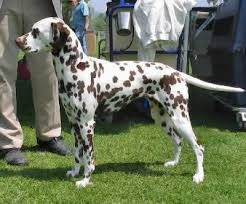 dalmatian firehouse dog breed guide information pictures